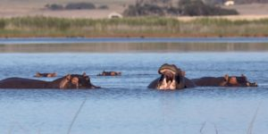 Water, it is Worth it – World Water Day Hippopotamus Amphibius